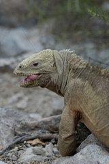Iguane terrestre des Galapagos Ile de Santa Fé