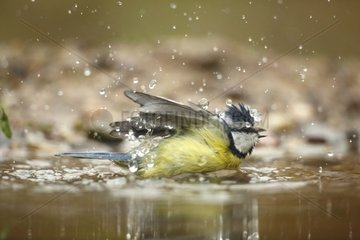Blue Tit snorting in water - France