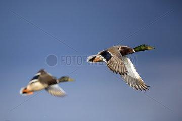 Mallards in flight - Salin Pesquiers France