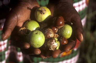 Collected fruit of Shea tree in hands Central Africa