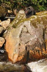 Black bear lying on a rock  British Columbia Canada