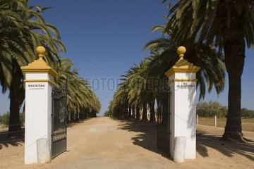 Alley bordered of palm trees at the entry of a field Spain