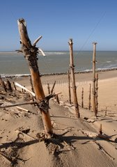Vestige of a forest of pine trees on the beach at Berck