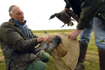 Terschelling  scientists of Alterra capture Brent geese to measure and ring them before they set off to Siberia
