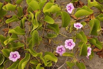Potato liana of edge of sea in flower Island of Viti Levu