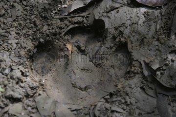 Sumatran rhinoceros trace Sumatra Indonesia