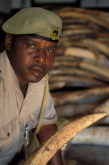 Tsavo National Park  a warden guards a pile of ivory elephant tusks confiscated from poachers