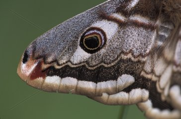 Detail of the wing of a female Emperor moth Ain France