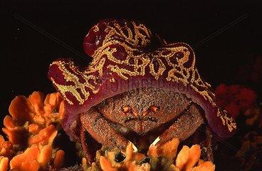 Sponge-crab under its Sea-sponge