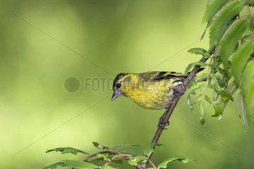 Male Siskin fixed on a branch Finland