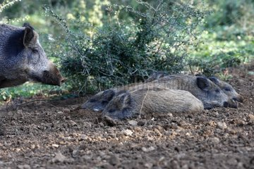 Wild Boar and young lying on earth Franche-Comté France
