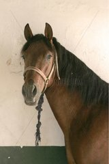 Portrait of Andalusian Thorough-bred [AT]