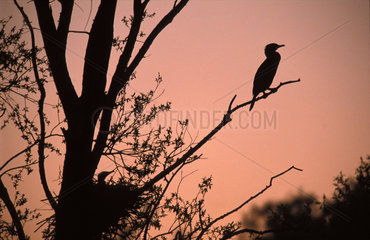 Cormorant colony in the Gendtsche polder