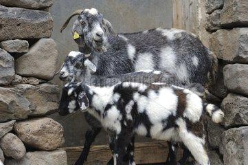 Goats and kids at a door - Fuerteventura Canaries