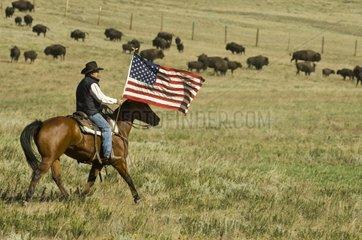 Cowboy at Bison Roundup Custer State Park South Dakota
