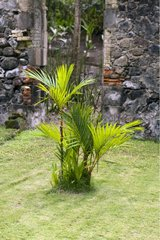 Cyrtostachys Palm trees in a garden of Martinique Island