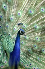 Courtship behaviour of a Male Indian Peafowl Yonne France