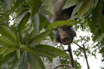 Grimace of a young chimpanzee suspended in a tree