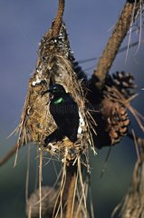 Long-billed Green Sunbird on nest Madagascar