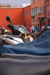 Cat on a scooter at the entrance of the medina of Marrakech