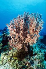Lush Red Gorgonian on the seabed Visayas Islands