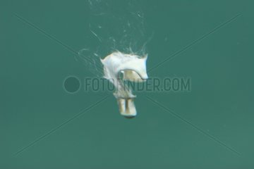 Fiente de Canard colvert émise dans l'eau