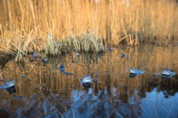 Moor frog males displaying in mating season - Germany