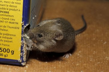 Gray mouse gnawing a package of semolina France