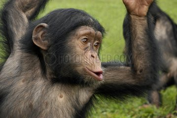 Cry of a young chimpanzee of approximately 2 years Cameroun [AT]
