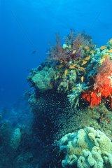 Poisson-hachette sur récif corallien Mer rouge