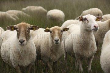 Kempen Heath Sheep De groote peel National park Netherlands