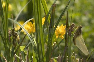 Group of eurasian red dragonfly emerging France