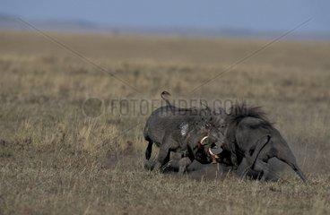 Combat de phacochères mâles Masaï Mara Kenya