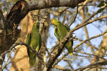 Blue-fronted Parrots sitting on a tree in Pantanal Brazil
