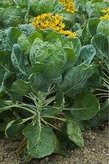 Choux de Bruxelles dans un jardin potager fleuri