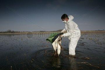 Technicien ONCFS récoltant un cadavre de Cygne tuberculé Ain