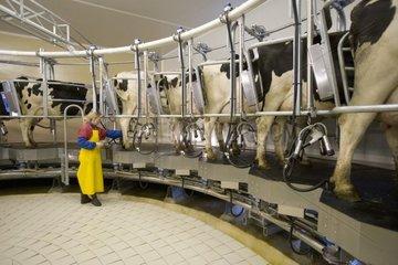 Woman farmer in room of rotary draft of Prim' Holstein