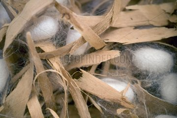 Cocoons of domestic silkmoth in chips of wood Germany