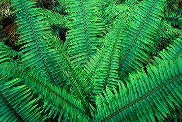 Sling of ferns in a rain forest of Canada