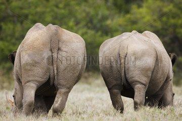 White rhinoceros in savana rear view Kenya