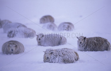 Texel  wintertime  snow covered sheep