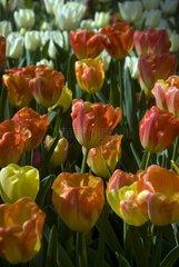 Triumph tulips 'Montevideo' in bloom in a garden