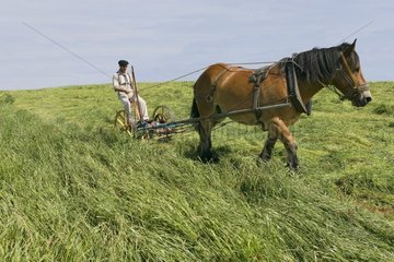 Horse ardenais with its collar drawing a reaper France