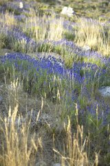 Wild officinal lavender pushing on the slopes Provence