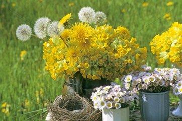 Bouquet of Cowslip primros and dandelions in April