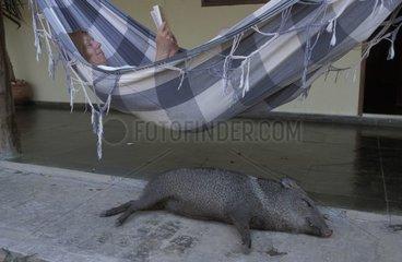 Pécari dormant sous une touriste lisant dans un hamac Brésil