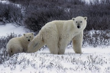 Polar bear female and its bear cub State of Manitoba Canada