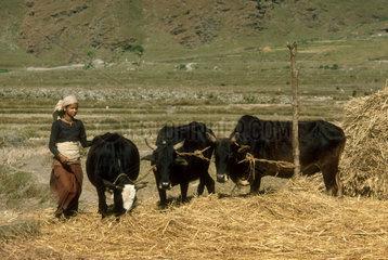 NEPAL : Pokhara region. Treshing grain.