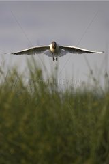 Black headed Gull joining its est in a sedge France