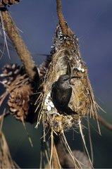 Long-billed Green Sunbird before its nest